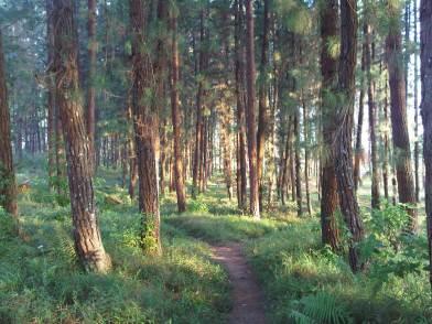 Panorama Hutan Pinus Bumi Perkemahan Panten Cipanas Desa Argalingga.