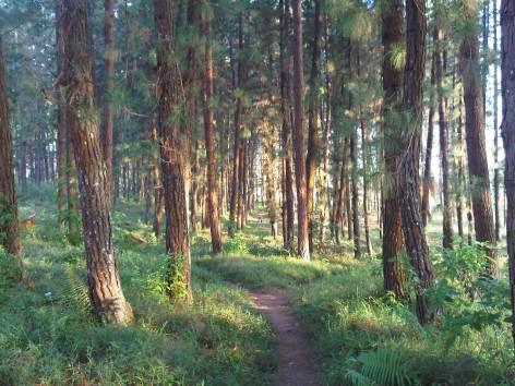 Panorama Hutan Pinus Bumi Perkemahan Panten Desa Argalingga.