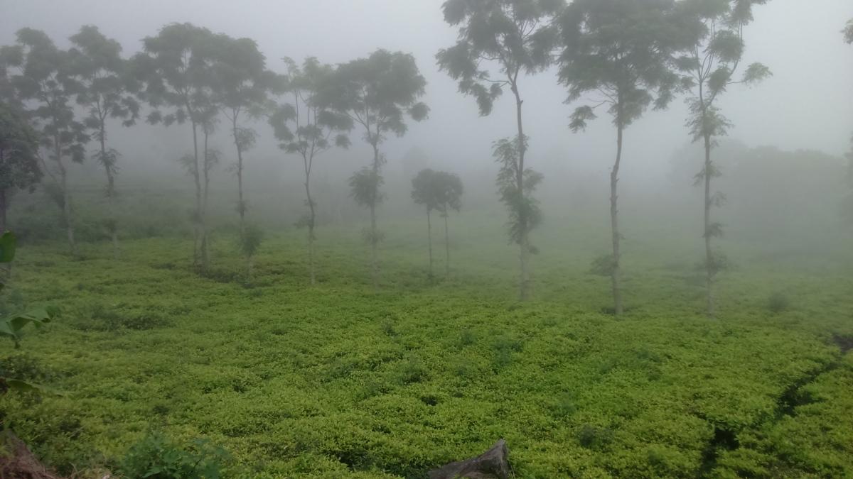 Kebun Teh Sadarehe, Panorama Kebun Teh di Gunung Ciremai.