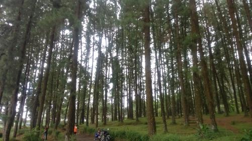 Hutan Pinus Cipanten