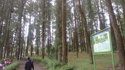 HutanP Pinus Cipanten