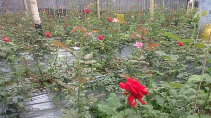Kebun Mawar Sadarehe, Pesona Lainnya dari Majalengka