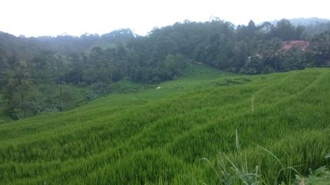 Panorama Sawah Nangklak Bantargung-Payung. (sumber foto: @infomjlk)